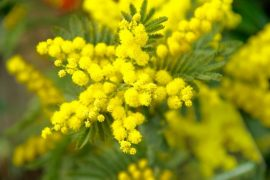 8 Marzo: Confesercenti-SWG, la mimosa resiste, la festa meno